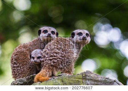 Baby Meerkat Between Its Parents