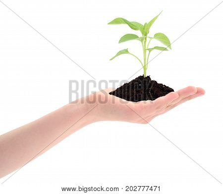Hand holding green sprout on white background.