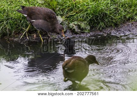 Moorhen Chick Fed By Its Mother