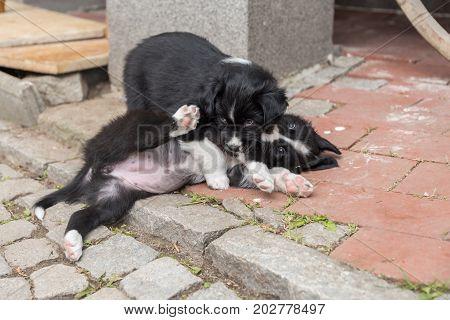 Playing Black Puppies