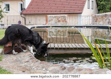 Big Dog Drinking By The Pond