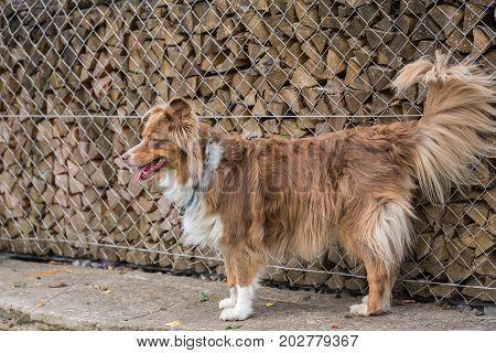 brown big dog standing on the garden wall - australian shepherd
