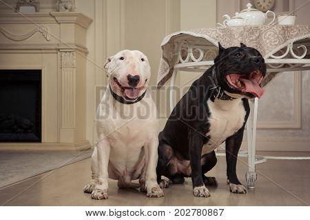 Dogs: black pit bull or stafforshire terrier white bull terrier seatting in vintage furnishings in studio
