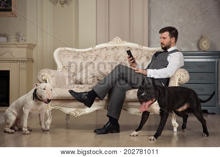 Man with mobile phone seating on the sofa. Dogs: black pit bull or stafforshire terrier white bull terrier seatting in the legs of man in retro studio