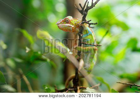 Chameleon Furcifer pardalis Ambilobe, panther chameleon jon a tree.