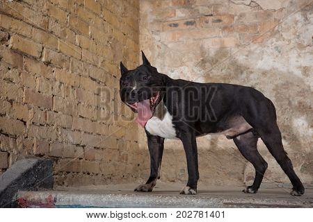 Portrait of black American Pit Bull in the studio. Dog seatting over peeled wall background