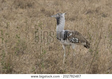 kori bustard standing among the dry grass and shrubs with berries in the savanna