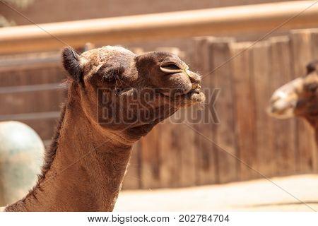 Domedary Camel Camelus Dromedaries