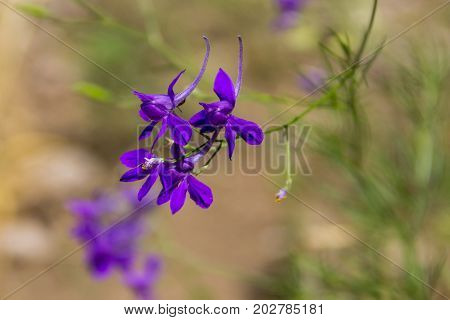 Forking larkspur (Consolida regalis) flower on meadow
