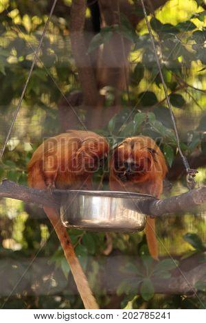 Golden Lion Tamarin Monkey Called Leontropithecus Rosalia Rosalia