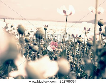 Poppies On Sunny Day. White Pink Poppy Flower Hybrids In Large Field.