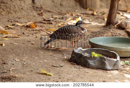 Sunbittern Bird Eurypyga Helias