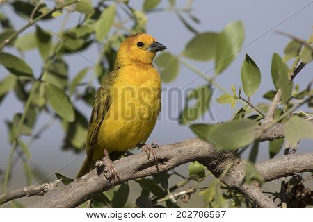Male Taveta weaver sitting in a bush on a branch on a hot afternoon in a dry season