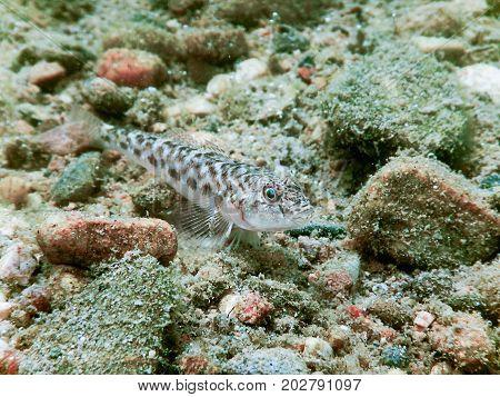 Round Goby Underwater Close Up. Fresh Water Fish.