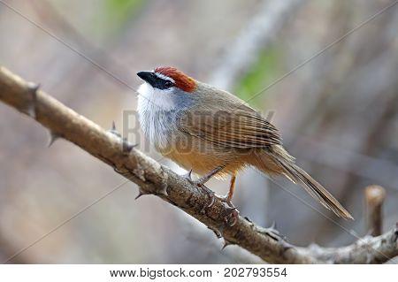 Chestnut-capped Babbler Timalia Pileata Beautiful Birds Of Thailand
