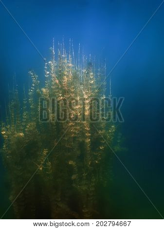 Underwater Flora. Underwater Plants Rivers, Lakes, Pond.
