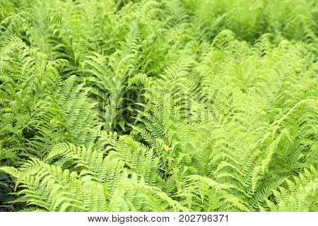 wild green forest fern for natural background