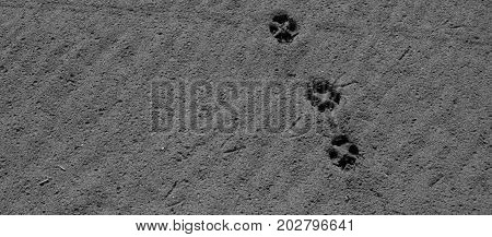 Footprint. Footprints of animals on the sand. Black and White.