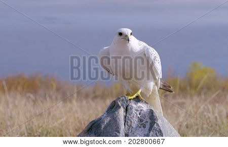 White hawk perched on a rock in Arizona