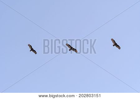 Turkey Vultures Soaring at Sunset in Joshua Tree National Park in California