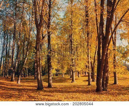Autumn landscape. Colorful autumn trees with yellowed foliage in the autumn park.  Golden autumn trees in city park in sunny autumn weather. Sunny autumn landscape scene - autumn trees and fallen autumn leaves