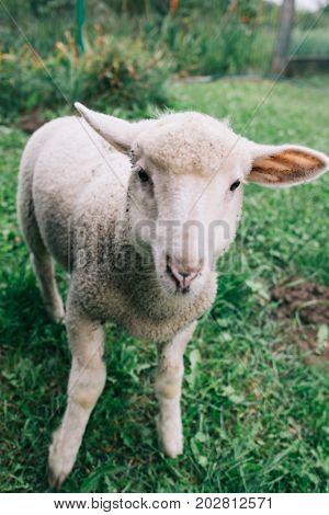 Lamb portrait. Cute young farm animal. Sheep. Livestock.