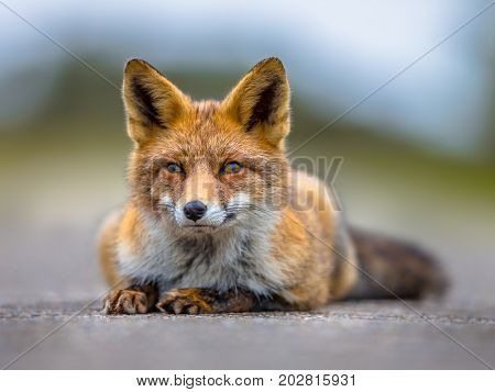 Resting European Red Fox Lying On The Ground