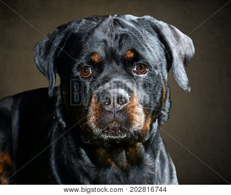 Rottweiler Face On in Studio with Brown Backdrop