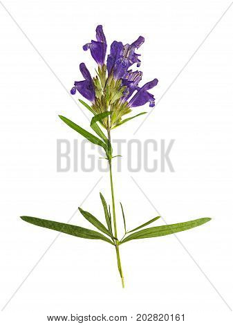 Pressed and dried flower dragonhead or Dracocephalum ruyschiana isolated on white background. For use in scrapbooking floristry or herbarium.