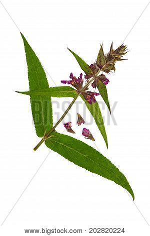 Pressed and dried flower stachys officinalis( betonica officinalis betony). Isolated on white background. For use in scrapbooking pressed floristry or herbarium.