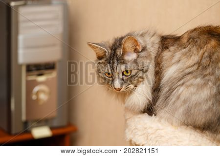 Cute fluffy cat standing next to a feline house. Pets. Hypoallergenic breed of cats