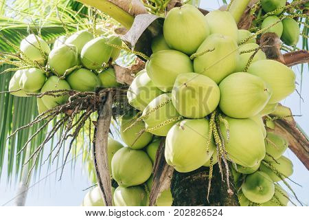 Close Up Coconut Fruit On Tree.