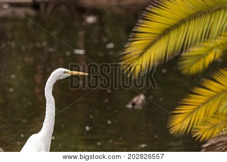 Great egret bird Ardea alba stands in a salt marsh in the upper Newport bay in Newport Beach California United States.