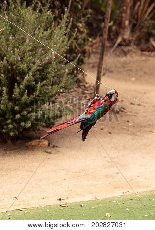 Green wing Macaw parrot bird Ara chloropterus with red green and blue feathers ziplines