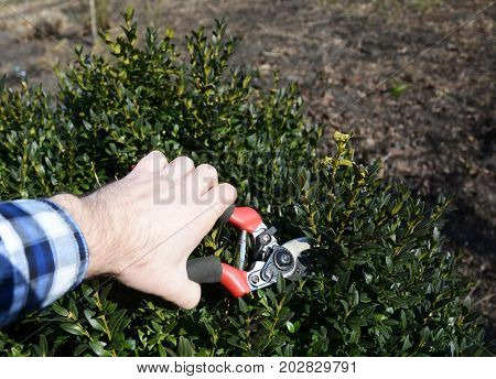 Pruning Boxwood Shrubs And The Best Time To Trim Boxwoods