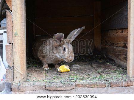 Raising and Breeding Rabbits for Meat. Feeding Rabbits with Corn on Rabbits Farm.