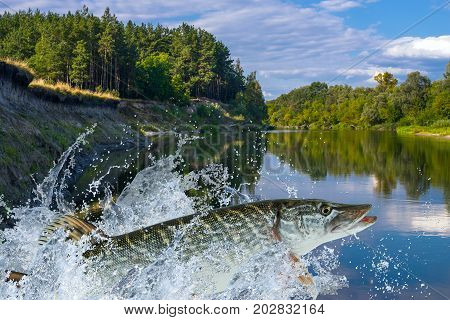 Pike Fish Jumping With Splashing In Water