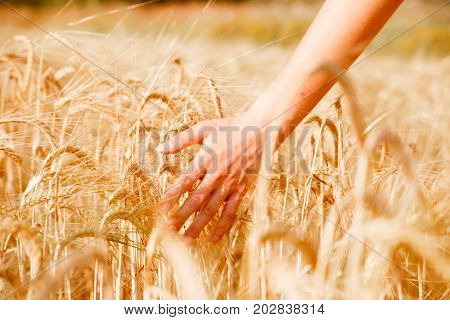 Picture of human's hand with wheat spikes