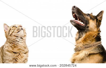 Portrait of Scottish Straight cat and German Shepherd dog, looking up, closeup, profile, isolated on white background