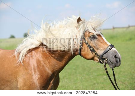 Potrait Of Beautiful Haflinger Stallion