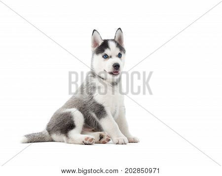 Funny and  interested siberian husky puppy, sitting in studio at white background, interesting looking away and posing. small cute dog like wolf with gray fur and blue eyes. Isolate.