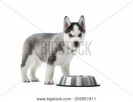 Studio portrait of carried and cute puppy of siberian husky dog standing near silver plate with water or food. Little funny dog with blue eyes, gray and black fur. Studio isolate on white.