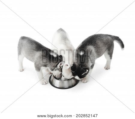 Three cute and funny puppies siberian husky dogs with white, gray and black fur, eating from big silver plate, on floor in studio. Puppies having dinner, drinking. Animals is best friends of people.