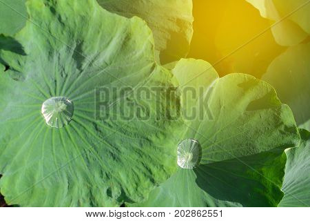 Lotus leaf with water drops at morning time in rainy season