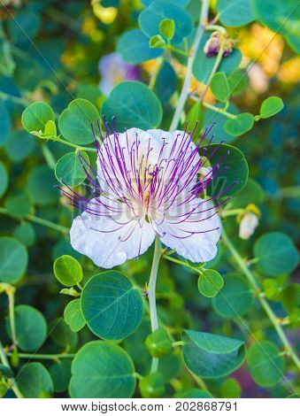 The plant is best known for the edible flower buds (capers). Beautiful details of a caper flower
