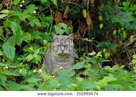 Gray cat sitting in green undergrowth in the garden