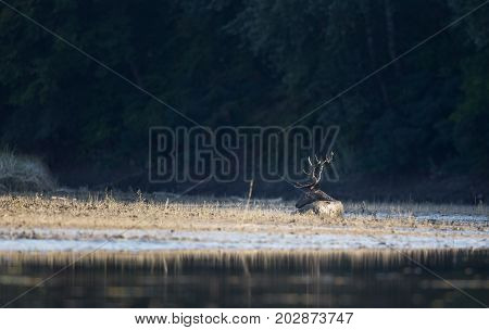 Red Deer Lying On River Coast