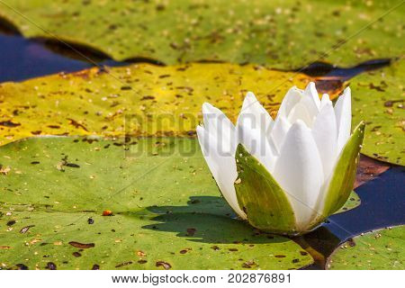 The White waterlily flower on a lake.