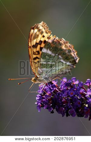 The Vanessa cardui butterfly pollinating violet flower.
