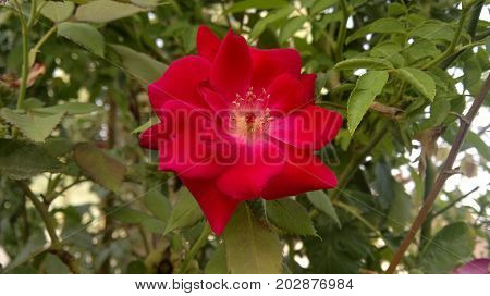 A nice red flower with a nice smell.
